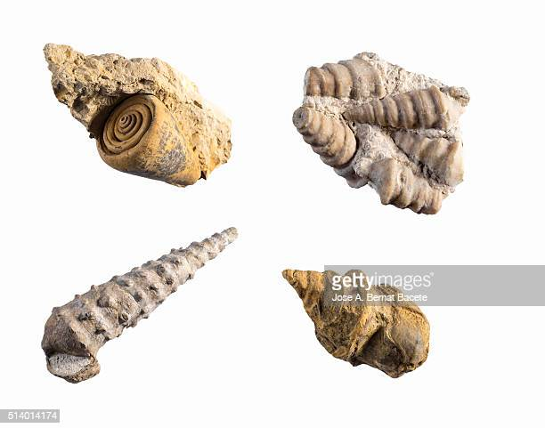 Fossils of different species of  sea snails on white background.
