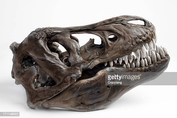 fossiltrex head - tyrannosaurus rex stock photos and pictures