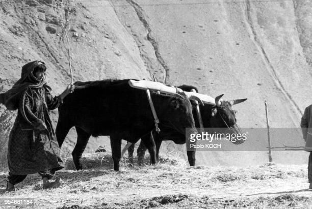 Foulage de la récolte par des boeufs en Afghanistan en 1967