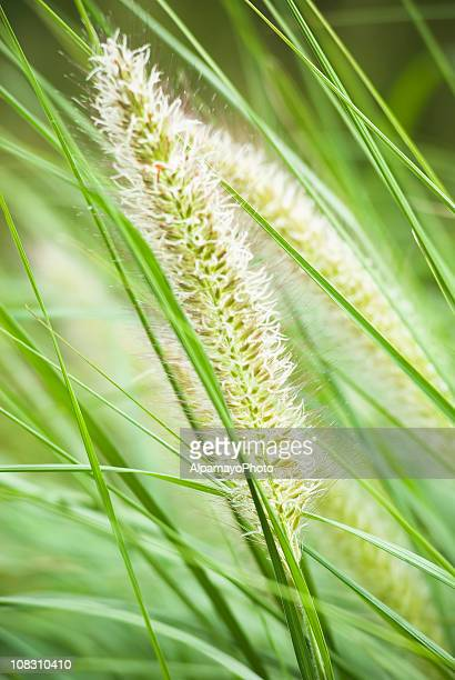 Fountain Grass, later summer - I