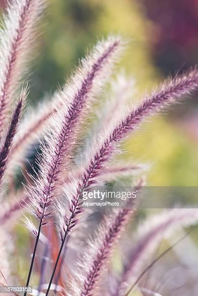 Fountain ornamental grass (Pennisetum setaceum 'Red Riding Hood') - III