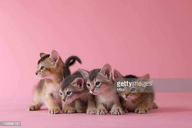 Four Abyssinian Kittens