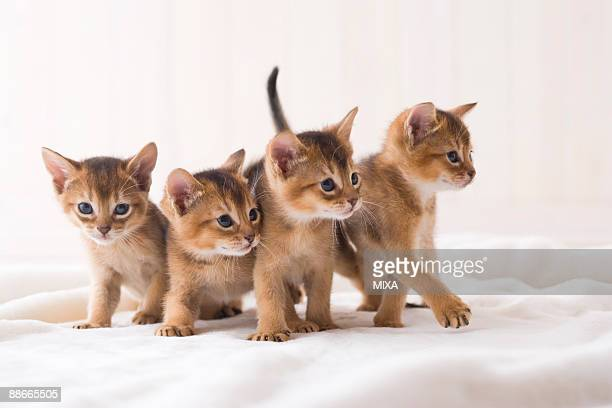 Four Abyssinian standing in a row