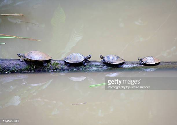 18 Yellow Spotted Amazon River Turtle Photos And Premium High Res Pictures Getty Images