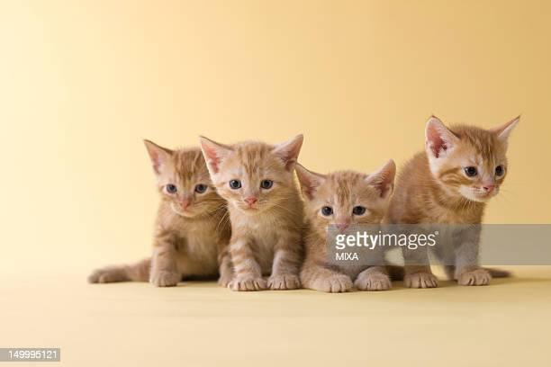 four american shorthair kittens - quatre animaux photos et images de collection