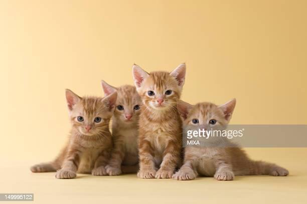 Four American Shorthair Kittens