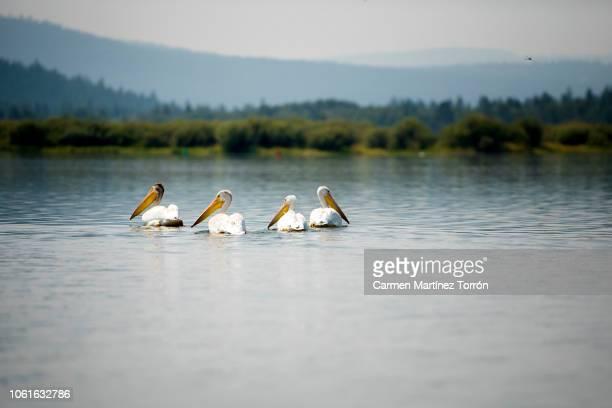 Four American white pelican swimming in calm lake water, near Mt. Shasta, Oregon.
