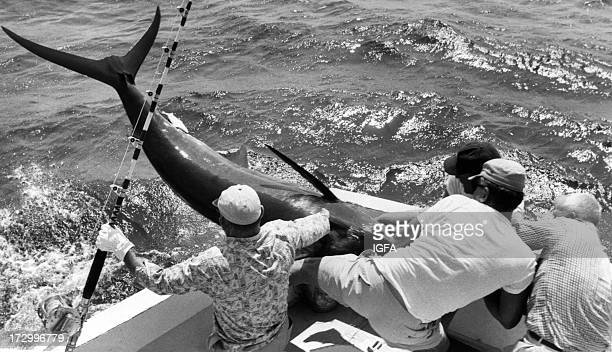 Four anglers hoist an Atlantic blue marlin into their boat during the Hatteras Marlin Club Tournament in Hatteras North Carolina circa 1980