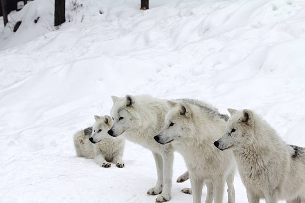 Four Arctic Wolves in Winter (selective focus)
