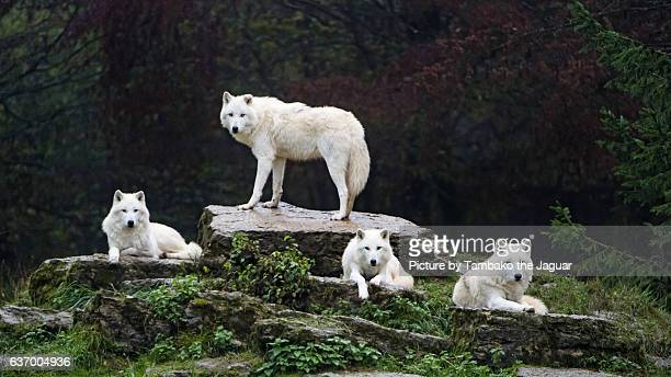 four arctic wolves - arctic wolf stock photos and pictures