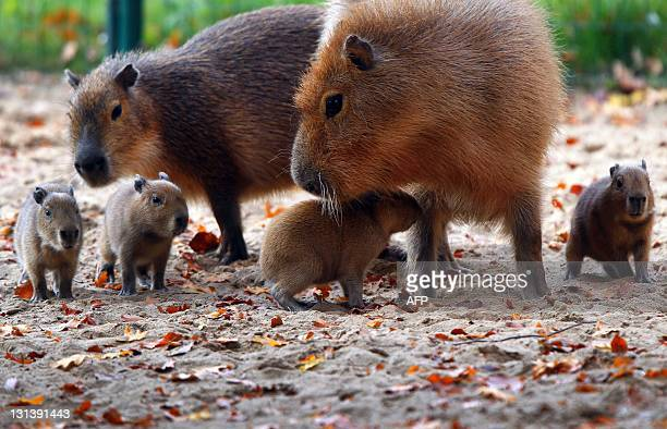 Four baby capybaras are accompanied by their mother as they explore their enclosure on November 3 2011 at the zoo in Schwerin northeastern Germany...