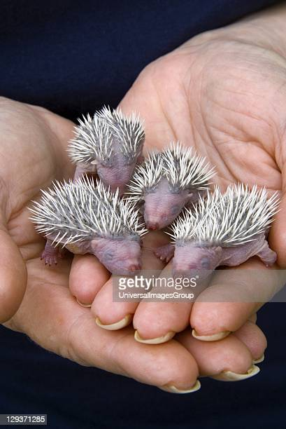 Four baby hedgehogs no older than 24hours held in hand