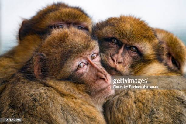 four barbary macaques snuggling - バーバリーマカク ストックフォトと画像