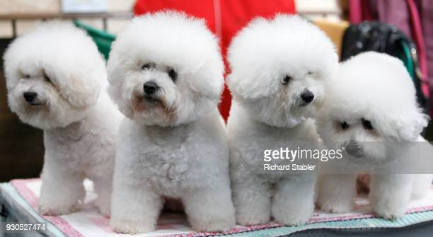 Four Bichon Frise on day three of the Cruft's dog show at the NEC Arena on March 10 2018 in Birmingham England The annual fourday event sees around...