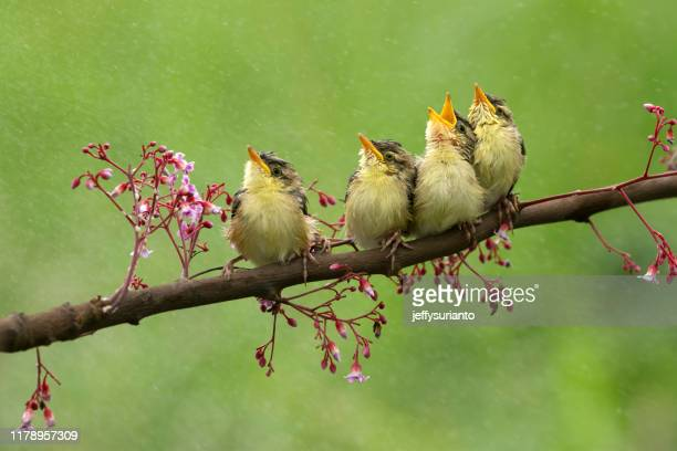 four birds sitting on a branch, indonesia - birdsong stock pictures, royalty-free photos & images