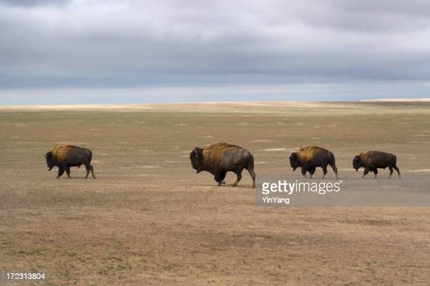 Four Bison Across the Landscape