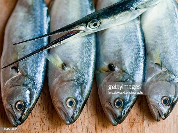 four bluefish and a garfish - オキスズキ ストックフォトと画像
