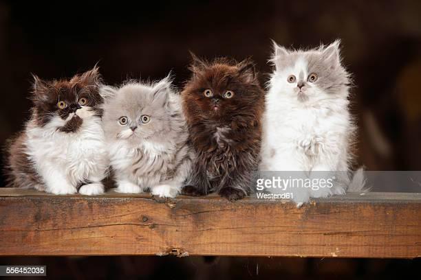 four british longhair kittens sitting on wooden beam - quatre animaux photos et images de collection
