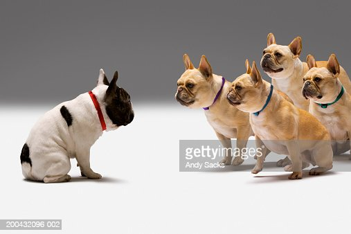 Four Brown French Bulldogs Staring At Spotted French ...