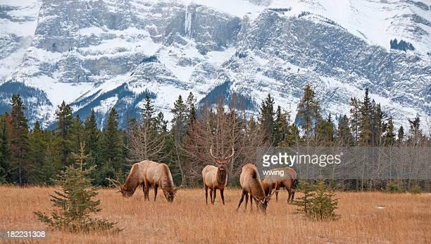 quattro bull elk nel parco nazionale di banff - wapiti foto e immagini stock