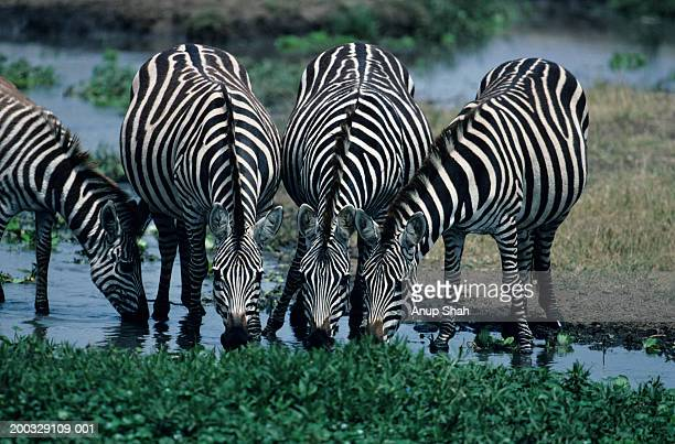 four burchell's zebras (equus burchelli) drinking at waterhole, kenya - herbivorous stock pictures, royalty-free photos & images