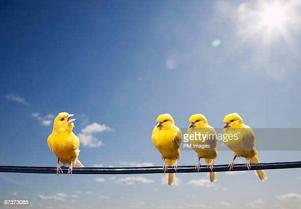 four canaries on wire, one bird chirping - perching stock pictures, royalty-free photos & images