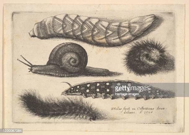 Four Caterpillars and a Snail, 1646. Artist Wenceslaus Hollar.
