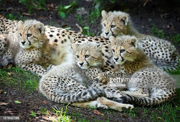 Four Cheetah Cubs (Acinonyx jubatus)