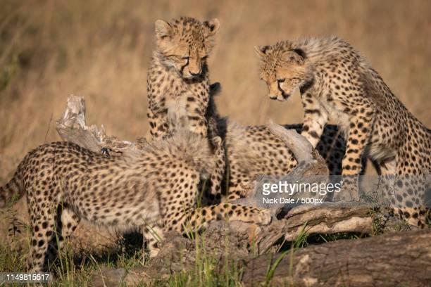 Four Cheetah Cubs Play On Dead Log