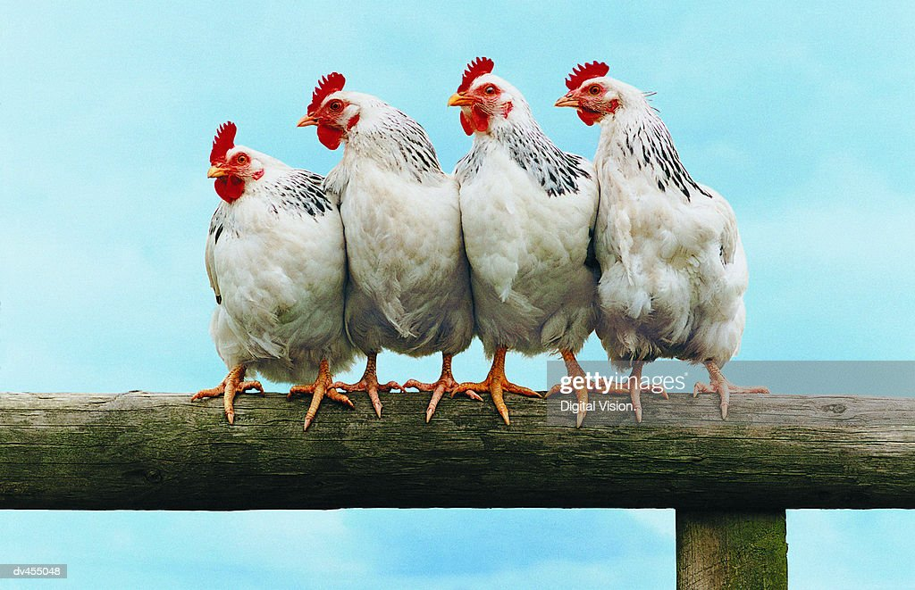 Four Chickens on Fence : Stock Photo