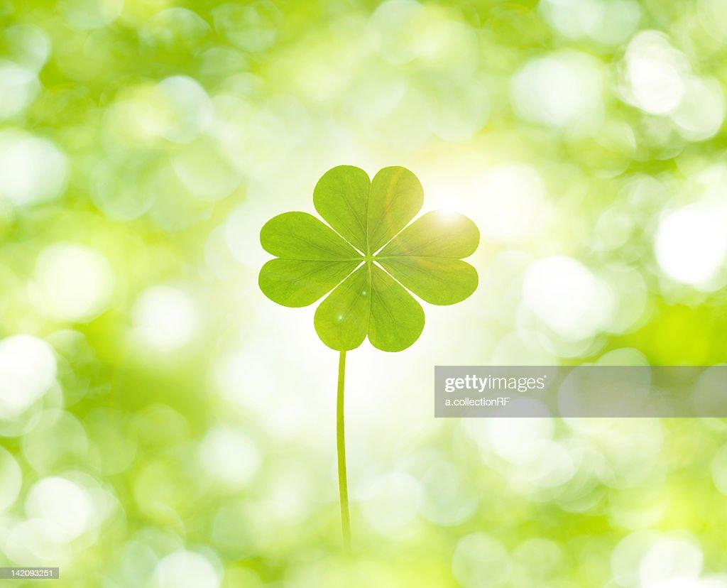 Four Clover Leaf : Stock Photo