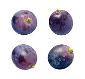 Four Concord Grapes Isolated on white