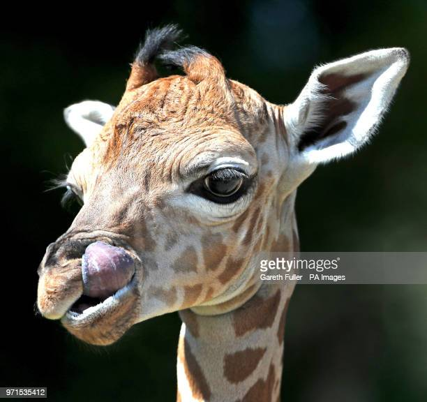 A four day old male Rothschild giraffe calf makes his debut at Port Lympne Reserve in Hythe At nearly 6 feet tall and still waiting to be named he...