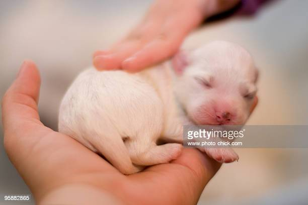 Four days old puppy