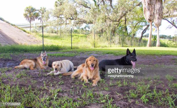 four dogs lying down in a dog park, united states - off leash dog park stock pictures, royalty-free photos & images