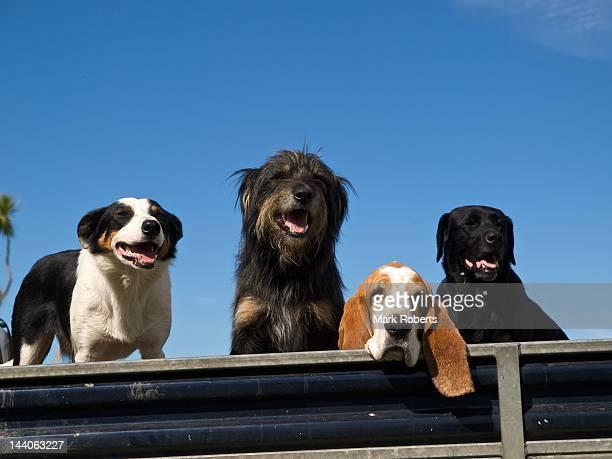 Four dogs on farm truck