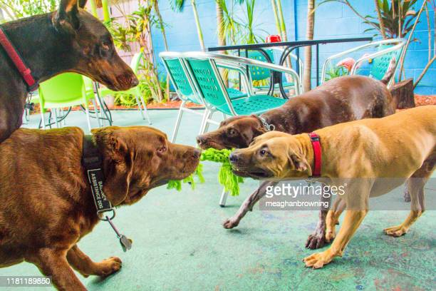 four dogs playing with a rope toy, united states - dogs tug of war stock pictures, royalty-free photos & images