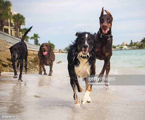 four dogs running on beach, florida, america, usa - red warlock doberman pinscher stock pictures, royalty-free photos & images
