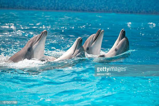 Four Dolphins dance  in a pool with blue water