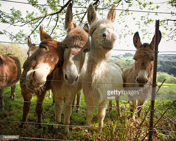Four donkeys pushing heads through a fence