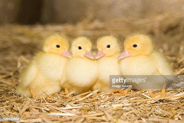 Four ducklings on straw