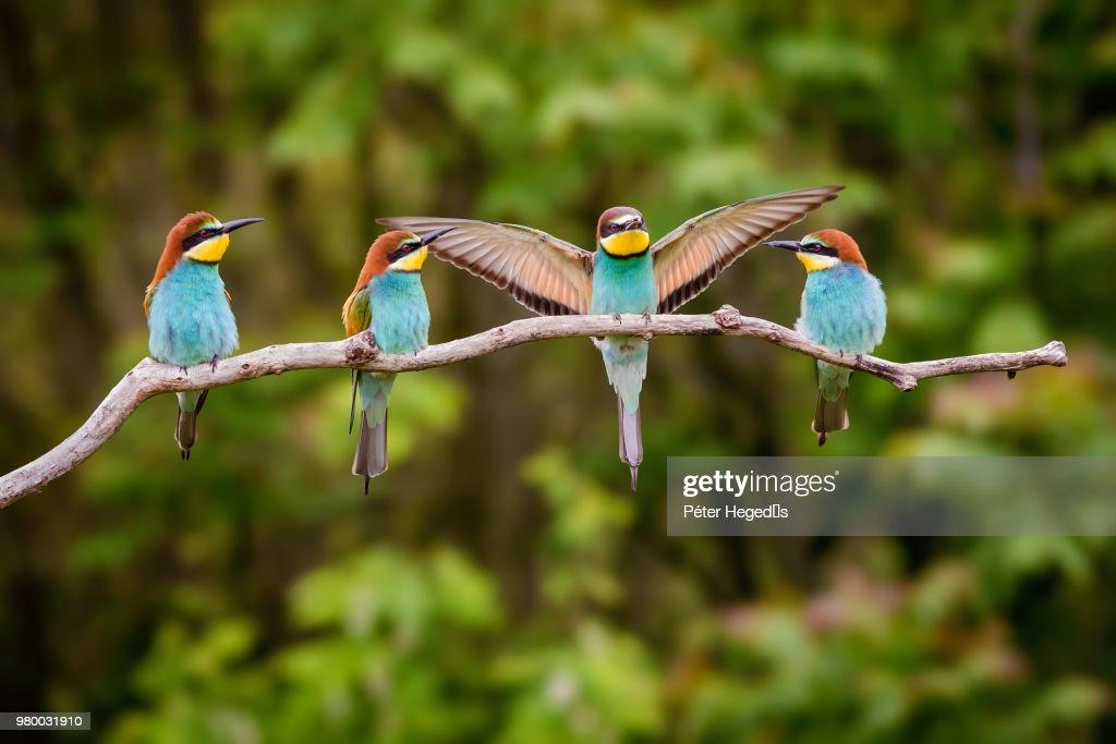 Four european bee-eater (Merops apiaster) birds perching on branch : Stock Photo