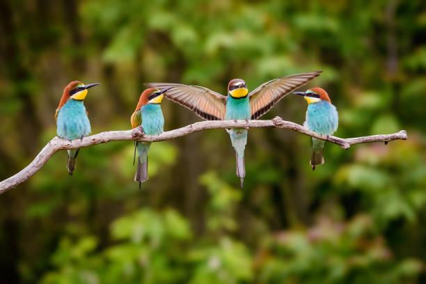 Four European Beeeater Merops Apiaster - Fine Art prints