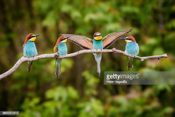 four european bee-eater (merops apiaster) birds perching on branch - zoology stock pictures, royalty-free photos & images