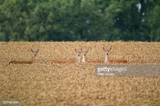 four fallow (dama dama) - camouflage stock pictures, royalty-free photos & images
