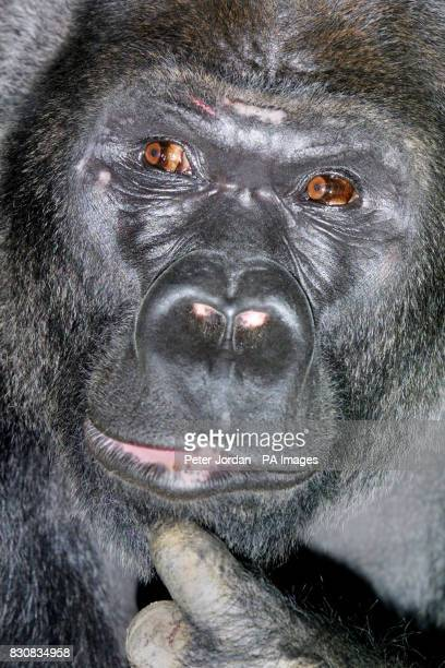 Four females at London Zoo have welcomed Jock an 18yearold male western lowland gorilla from Zoo la Palmyre in southwest France who arrived on...