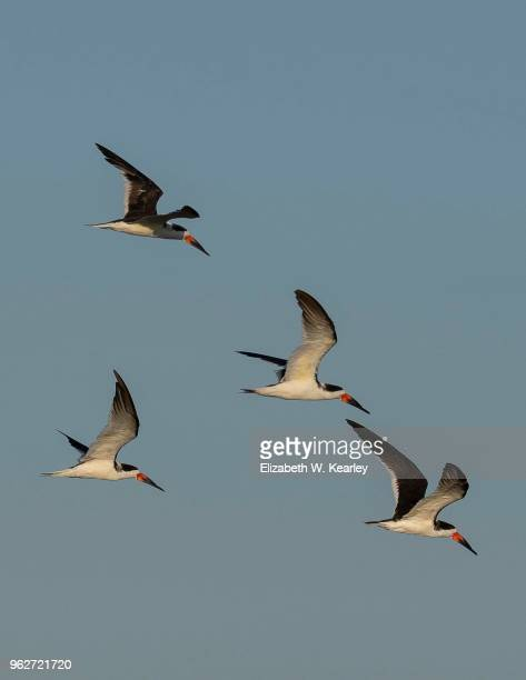 four flying black skimmers - titusville florida stock pictures, royalty-free photos & images