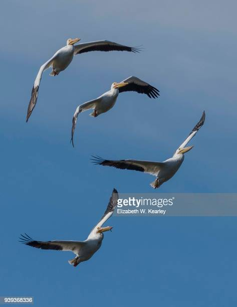 four flying white pelicans - titusville florida stock pictures, royalty-free photos & images