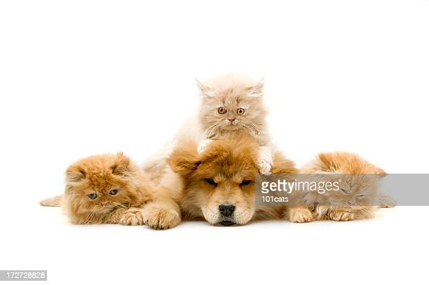 four friends, - dog and cat stock photos and pictures