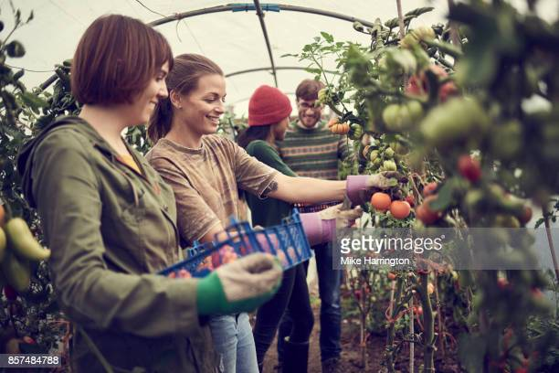 four friends working together, picking fruit and vegetables in community allotment - tomato harvest stock pictures, royalty-free photos & images